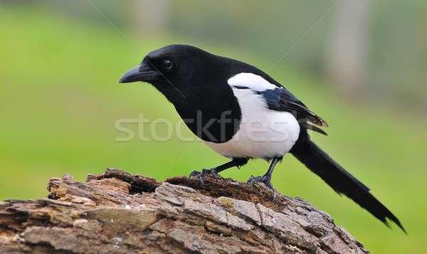Madarak vidék fajok élőhely ökoszisztéma Stock fotó © asturianu