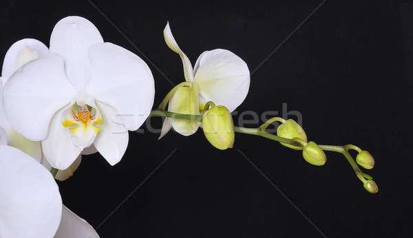 Orchid. Stock photo © asturianu
