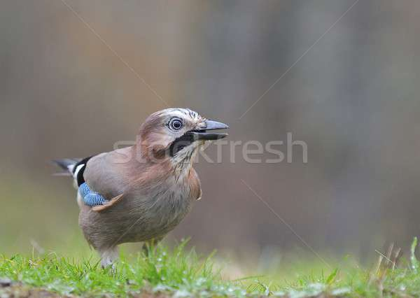 Eurasian Jay in the rain Stock photo © asturianu