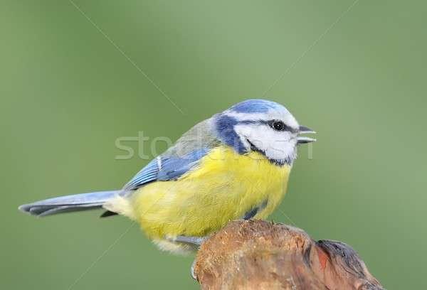 Niebieski tit ptaków zielone zimą Pióro Zdjęcia stock © asturianu