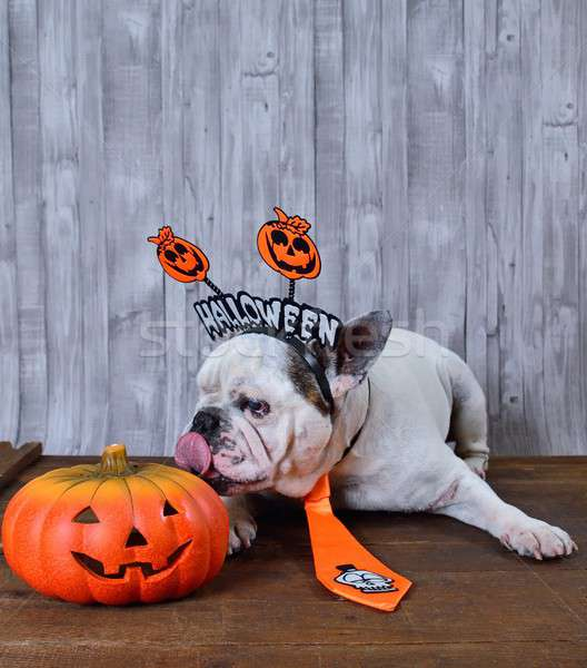 French bulldog licking a Halloween pumpkin Stock photo © asturianu