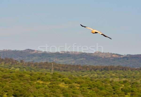 Egipcjanin sęp skrzydełka pływające portret biały Zdjęcia stock © asturianu