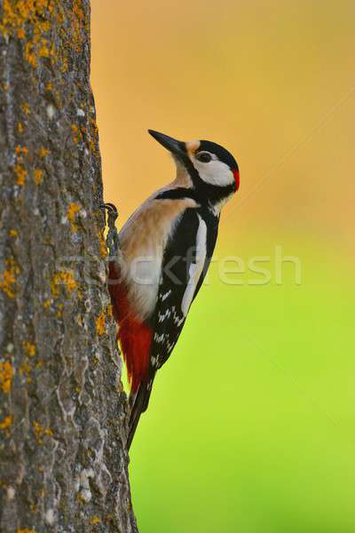 Great spotted woodpecker perched on a log. Stock photo © asturianu