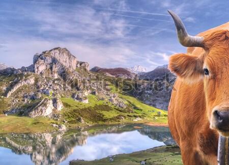 Cow in Somiedo Lake. Stock photo © asturianu