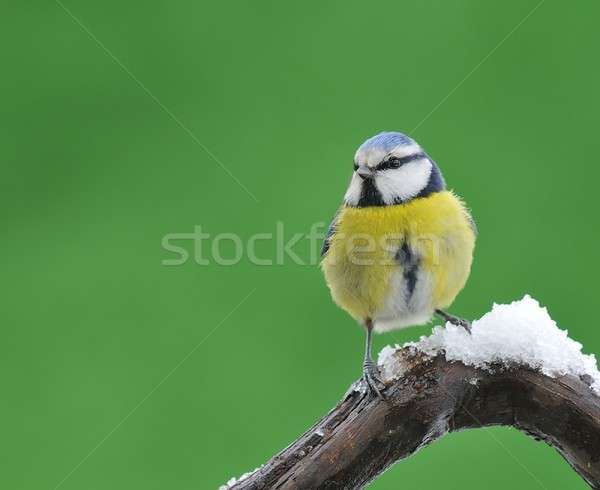 Blue tit in snow. Stock photo © asturianu