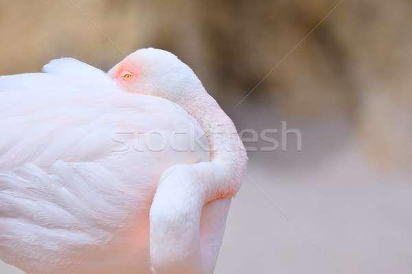 Сток-фото: спальный · фламинго · розовый · сокрытие · клюв