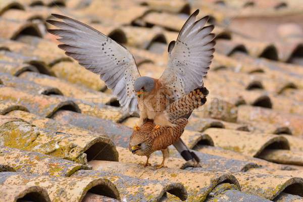 Male and female of Lesser kestrel. Falco naumanni. Stock photo © asturianu