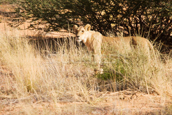 Lioness walking alone Stock photo © avdveen