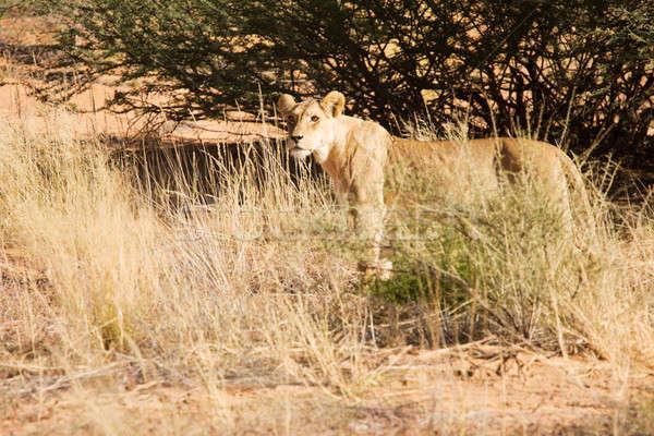 Caminhada sozinho velho deserto viajar leão Foto stock © avdveen