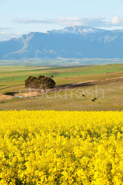 Snow capped mountain range overlooking yellow canola fields Stock photo © avdveen