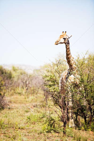 żyrafa stałego alarm charakter świetle lata Zdjęcia stock © avdveen