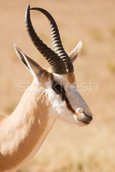 Closeup portrait of a Springbok gazelle Stock photo © avdveen
