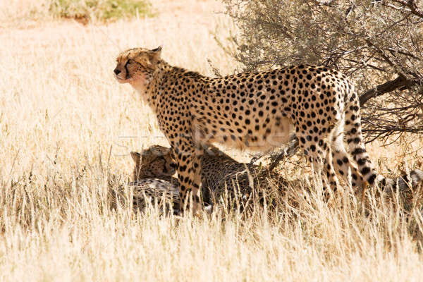 Cheetahs in the Kgalagadi, South Africa Stock photo © avdveen
