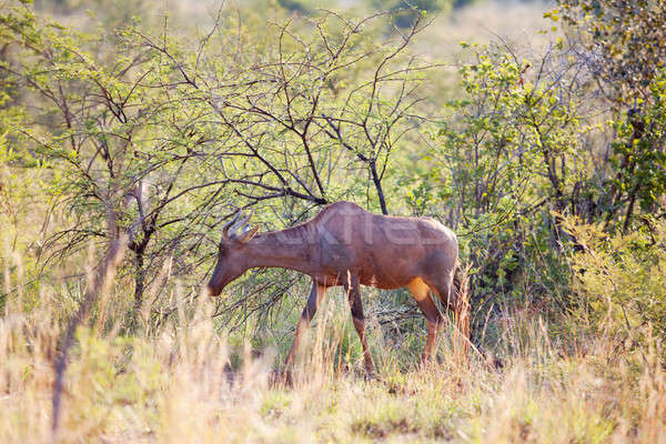 Young red hartebeest grazing in nature reserve Stock photo © avdveen