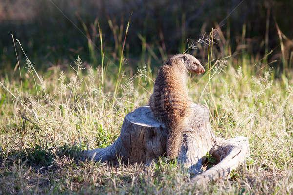 Sitzung toter Baum spät Nachmittag Licht Baum Stock foto © avdveen