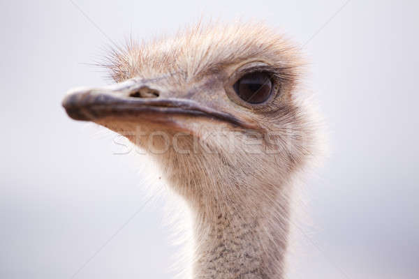 Backlit close-up side portrait of an ostrich Stock photo © avdveen