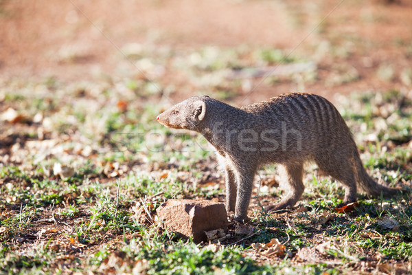 Banded mongoose in late afternoon light Stock photo © avdveen