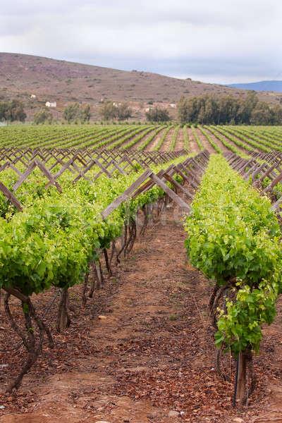 Plantas vina de uva alimentos paisaje Foto stock © avdveen