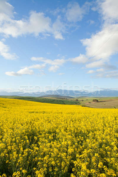 Stock photo: Yellow fields of canola flowers with mountain range in backgroun