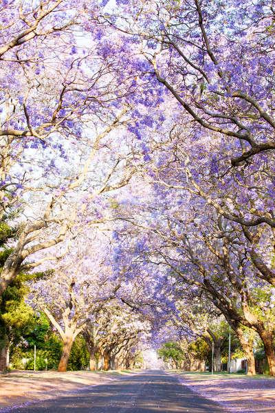 Bomen weg South Africa bloeien voorjaar stad Stockfoto © avdveen