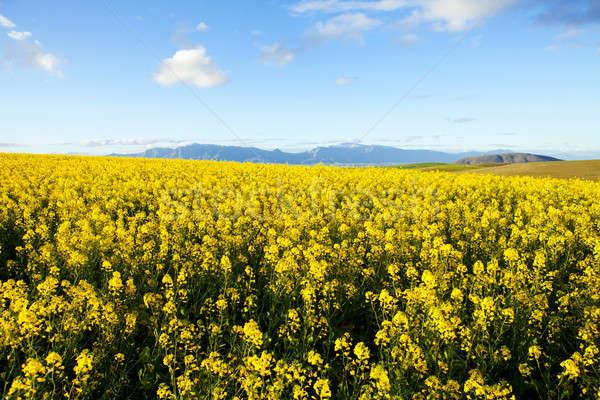 Mezők citromsárga virágok hegy terjedelem égbolt Stock fotó © avdveen