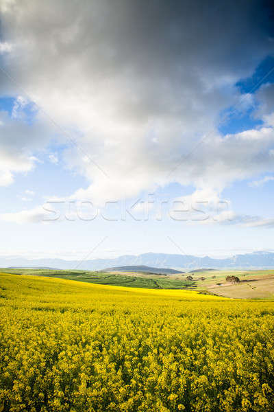 Yellow canola flowers in a valley overlooking the mountains Stock photo © avdveen