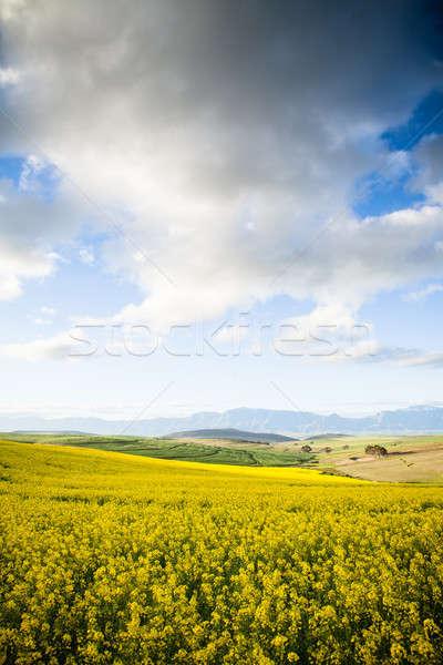 Sarı çiçekler vadi dağlar alan gökyüzü Stok fotoğraf © avdveen