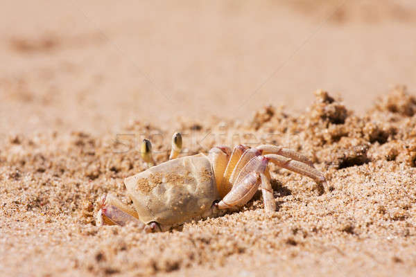 Crab on the beach sand Stock photo © avdveen