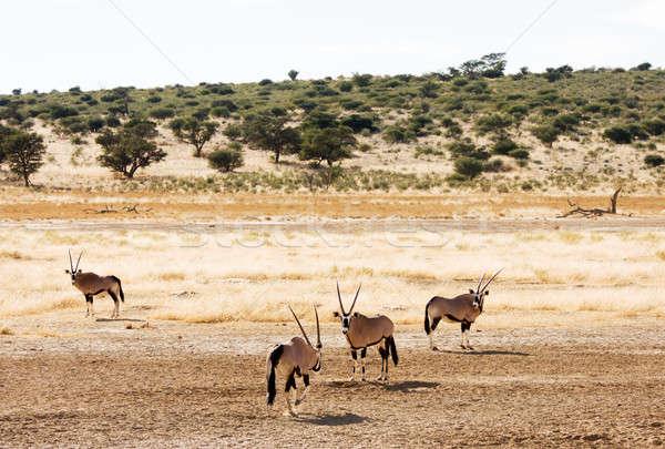 Dört doğa hayvan Afrika çevre safari Stok fotoğraf © avdveen