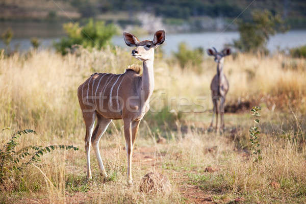 Two alert kudus walking in nature reserve Stock photo © avdveen
