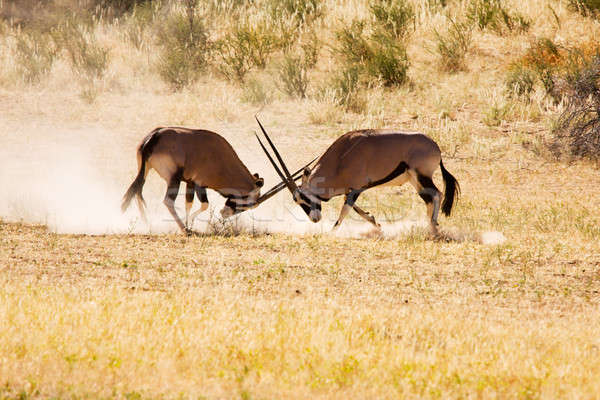 Two Gemsbok antelope males fighting for dominance Stock photo © avdveen