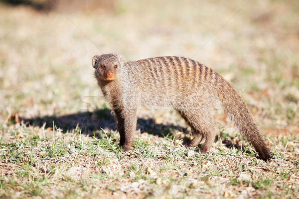 Alert banded mongoose in the wild Stock photo © avdveen