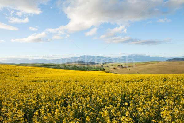 フィールド オフ 黄色 花 谷 南 ストックフォト © avdveen