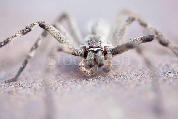 Common rain spider on brick pavement, selective focus Stock photo © avdveen