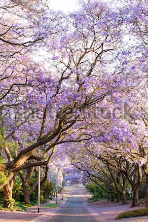 Road lined with beautiful purple jacaranda trees in bloom Stock photo © avdveen