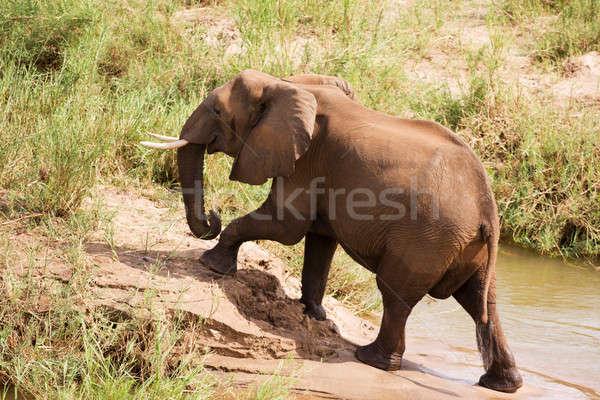 Afrika fil nehir banka yürüyüş dışarı su Stok fotoğraf © avdveen