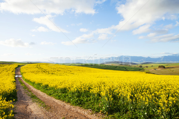 Farm dirt road between yellow canola flower fields Stock photo © avdveen