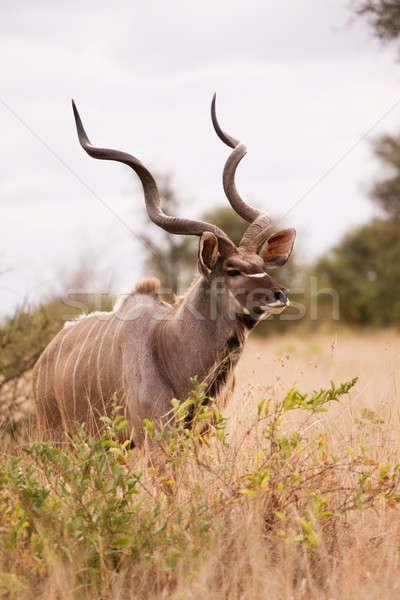 Boğa yürüyüş tek başına gözler geyik Stok fotoğraf © avdveen