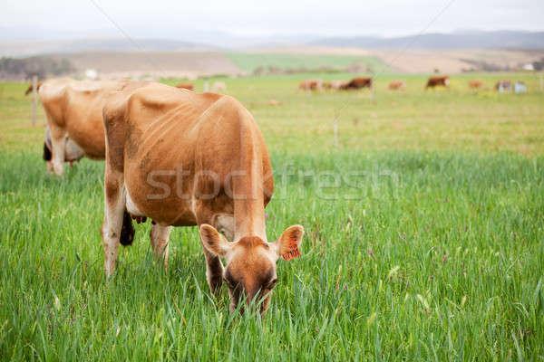 牛 緑 草原 群れ 春 ストックフォト © avdveen
