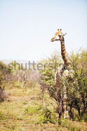 An alert giraffe in the bushveld Stock photo © avdveen