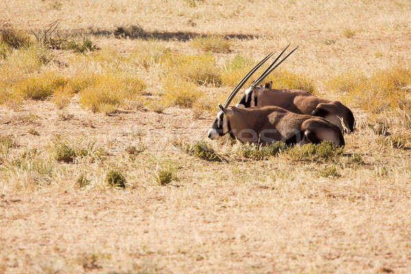 Two Oryx lying down in the Kgalagadi desert Stock photo © avdveen