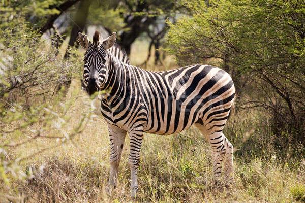 Egyedüli zebra áll afrikai bokor fű Stock fotó © avdveen
