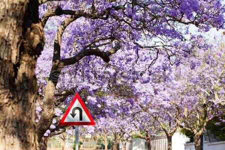 Waarschuwing verkeersbord paars bomen vol bloeien Stockfoto © avdveen