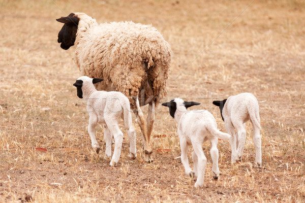 Ewe with three lambs walking away from viewer Stock photo © avdveen