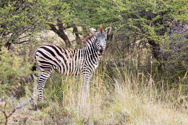 Young zebra standing in the bush Stock photo © avdveen