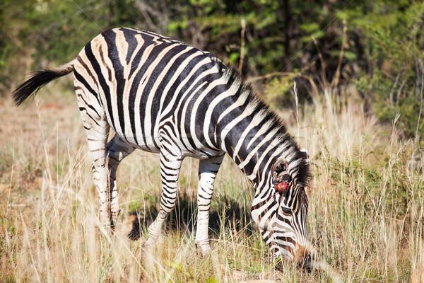 Verwundet Zebra groß Gras Natur Reserve Stock foto © avdveen