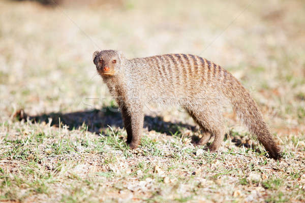 Banded mongoose in nature reserve in South Africa Stock photo © avdveen