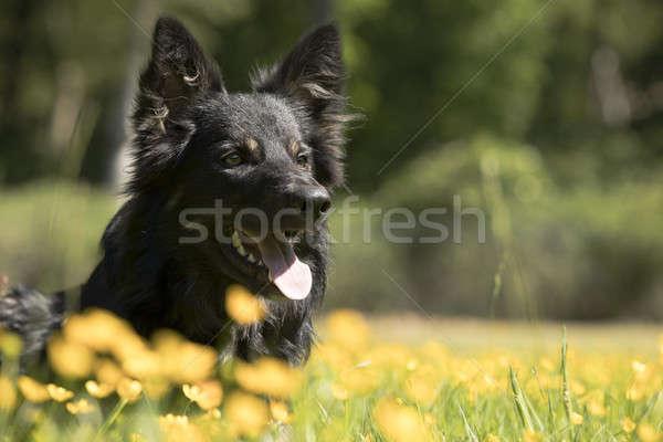 Hond border collie gele bloemen haren portret hoofd Stockfoto © AvHeertum