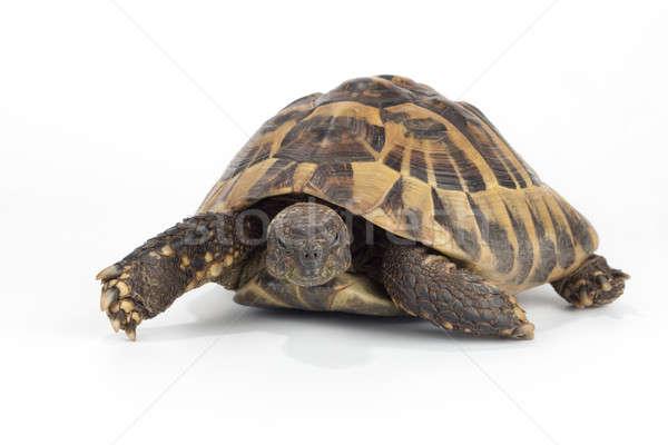Yunan arazi kaplumbağa doku doğa arka plan Stok fotoğraf © AvHeertum