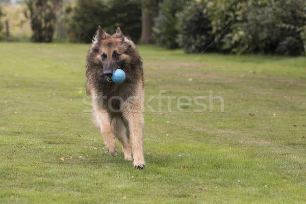 Hond haren lopen mond bal Stockfoto © AvHeertum